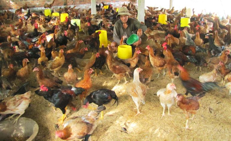 Kết quả hình ảnh cho môi trường nuôi gà