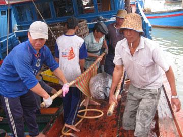 Phú Yên: Khai thác cá ngừ đại dương đạt 90% sản lượng cả năm 2010